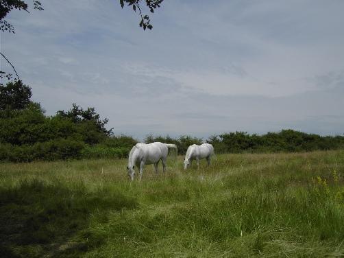 Twee witte paarden grazen in de buurt van de natuurcamping.