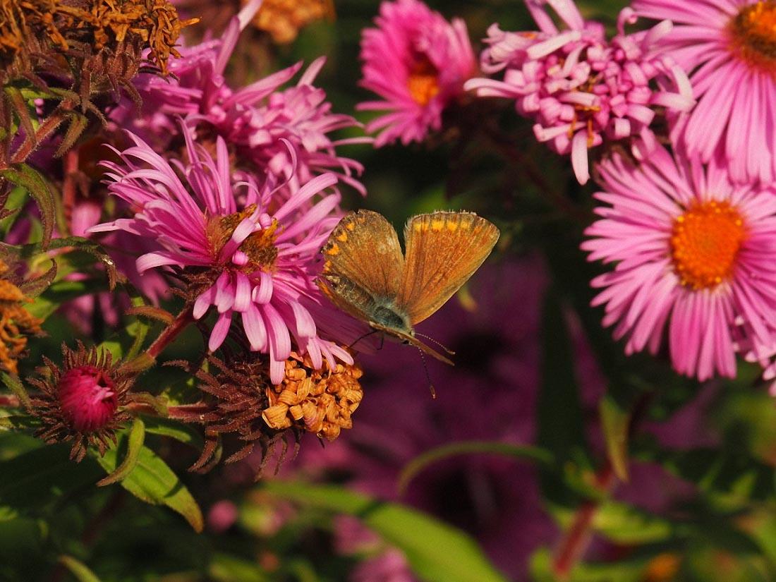 Roze bloemen met een oranje hart. Een oranje vlinder zit op één van de bloemen.